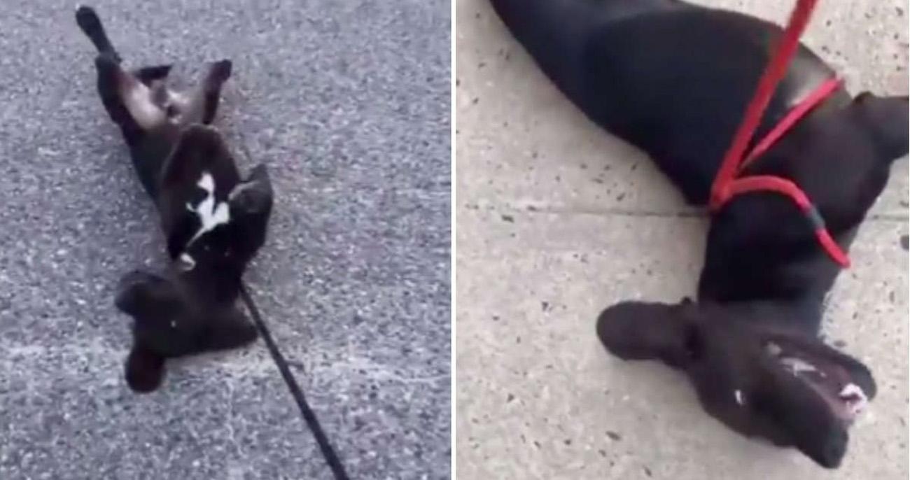 Cachorro finge desmaios durante passeios para não ter que voltar para casa