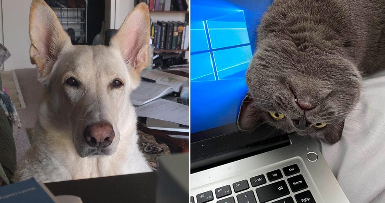 Esses cachorros e gatos não aprovaram os donos trabalhando em casa