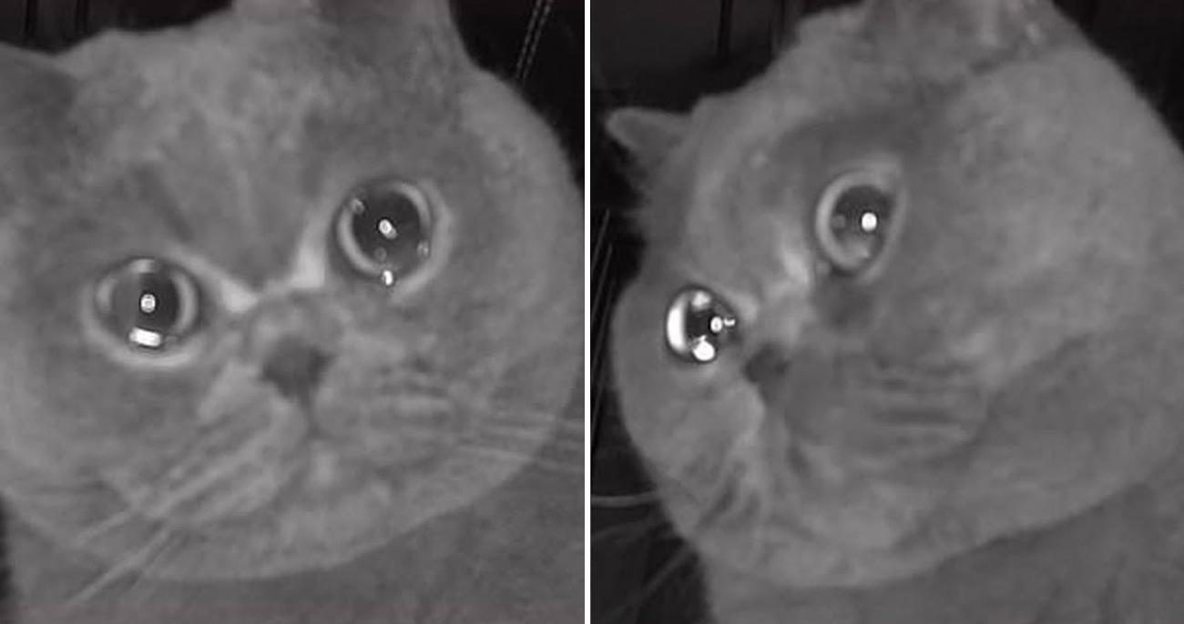 Gatinho dramático vai até câmera de segurança e chora ao ficar sozinho