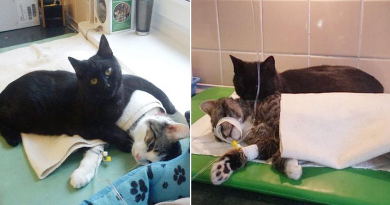 Gato resgatado por veterinários dedica a vida a cuidar de outros animais
