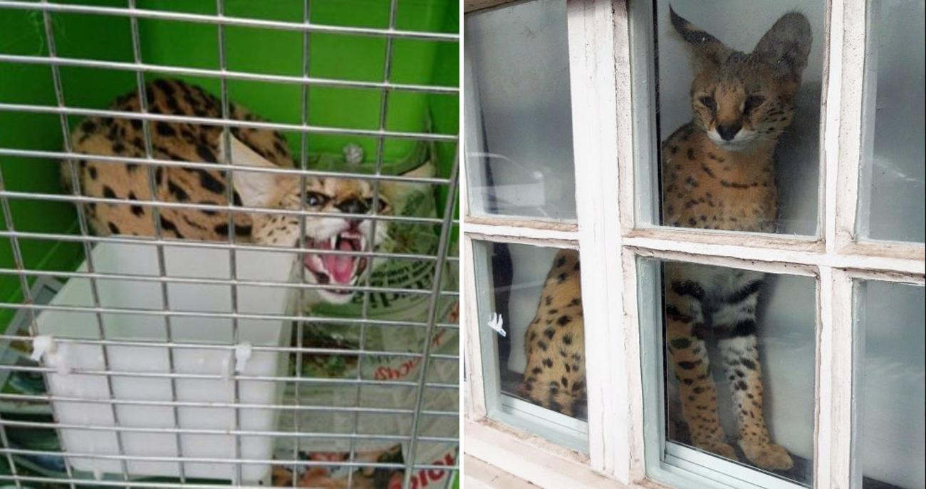Homem foi multado em 5 mil Euros por manter gato selvagem como pet