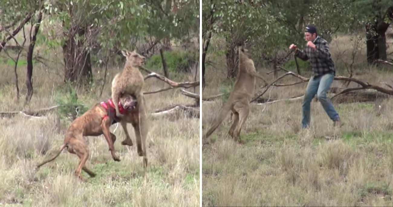 Homem sai no braço com canguru