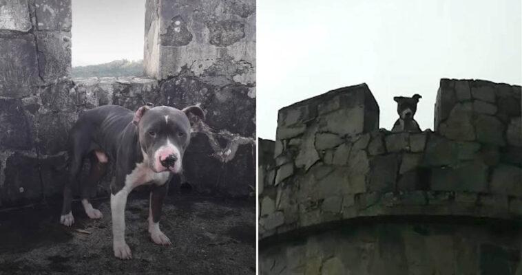 Pit bull foi abandonado