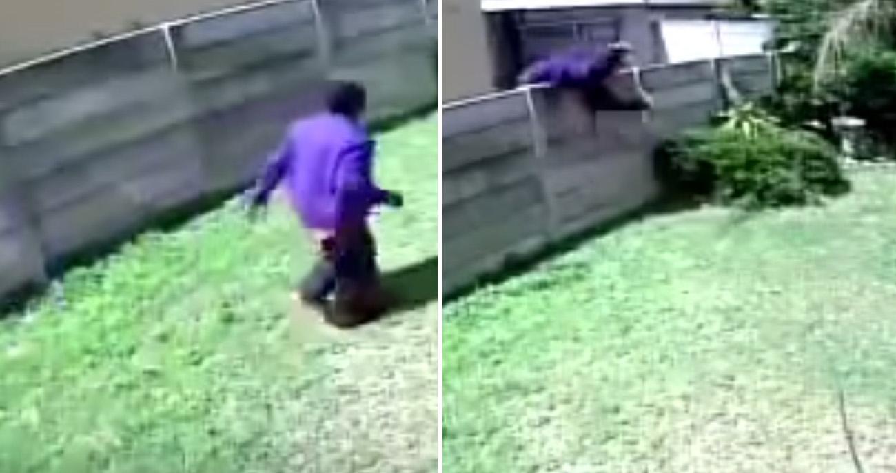Cão de guarda minúsculo bota ladrão invasor para correr em vídeo hilário