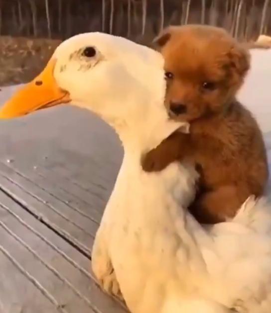 Cachorrinho encontra um pato pela primeira vez