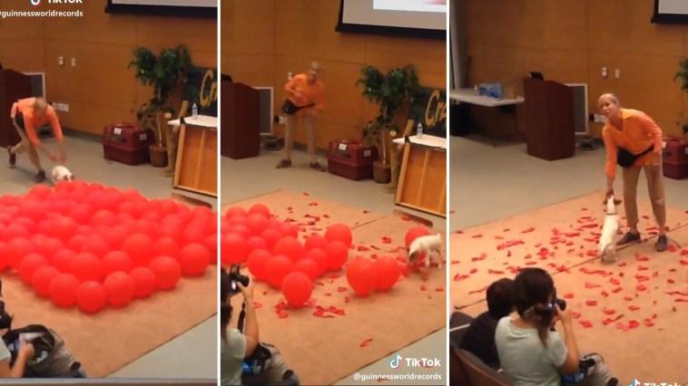 Cachorrinho estoura 100 balões em 39 segundos e bate recorde mundial