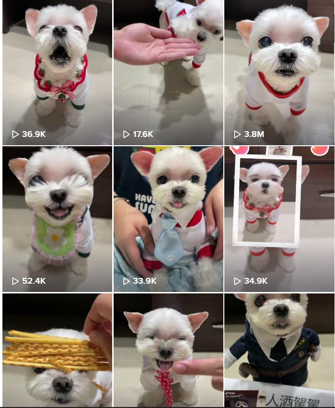 Cachorrinho fofo escolhe as próprias roupas tiktok