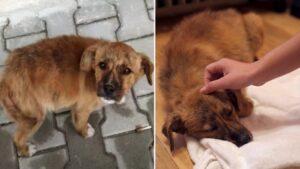 Cachorrinho triste seguiu casal que encontrou na rua e teve uma surpresa