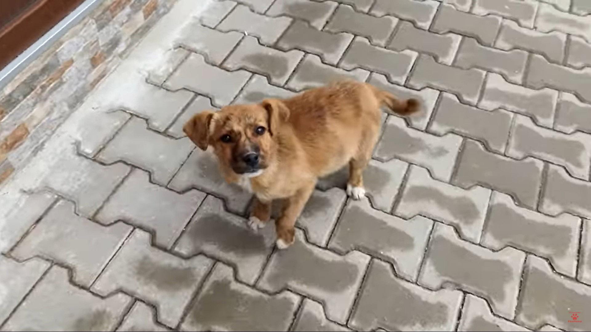 Cachorrinho triste seguiu casal adoção