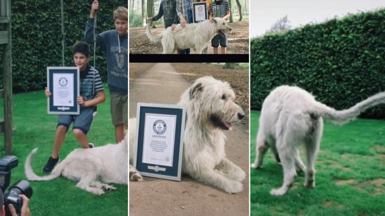 Cachorro com maior rabo do mundo ganha certificado de recorde mundial