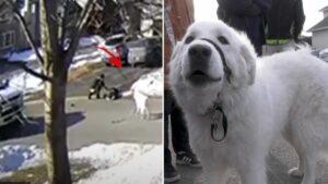 Cachorro para o trânsito para conseguir ajuda à dona que desmaiou na rua