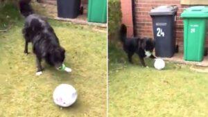 Cachorro só permite que carteiro entregue cartas se jogar bola com ele