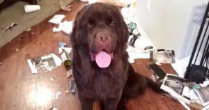 Cachorro terra-nova destruiu a casa e não está nem aí para isso