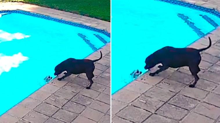 Cadela salva cachorrinho que caiu na piscina após 40 minutos de resgate