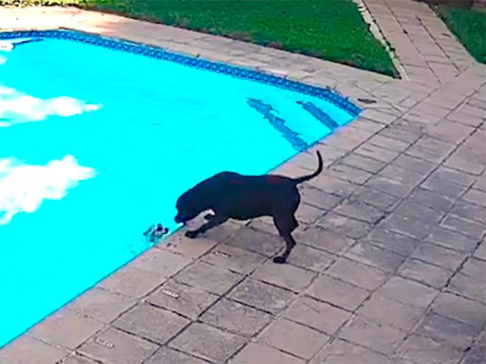Cadela salva cachorrinho que caiu na piscina