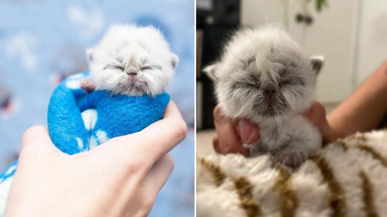 Conheça Vovô, um gatinho bebê que parece um velhinho
