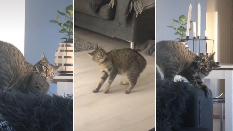 Esse gatinho tem os chiliques mais engraçados da internet