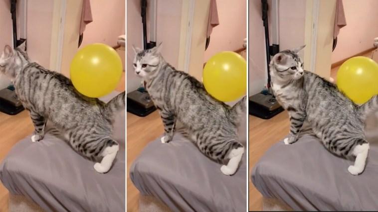 Gatinho fica confuso com balão grudado nele por causa de estática