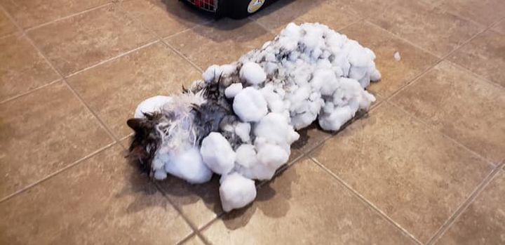 Gato encontrado totalmente congelado se recuperou