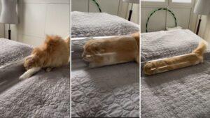 Gato entra em tubo transparente e fica parecendo uma cobra com pelos
