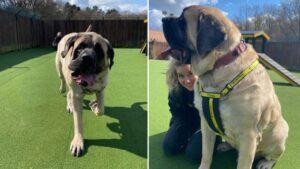 Maior cachorro de abrigo procura dono com coração tão grande quanto ele