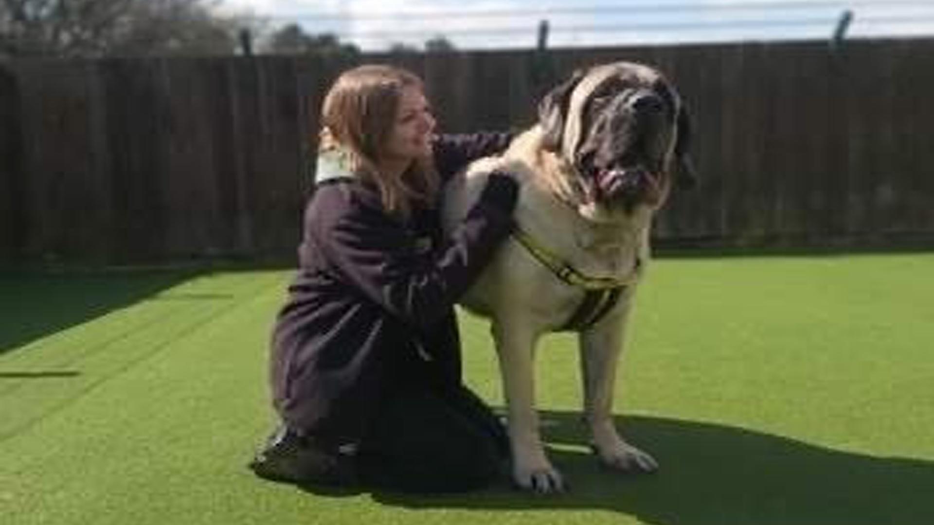 Maior cachorro de abrigo procura dono