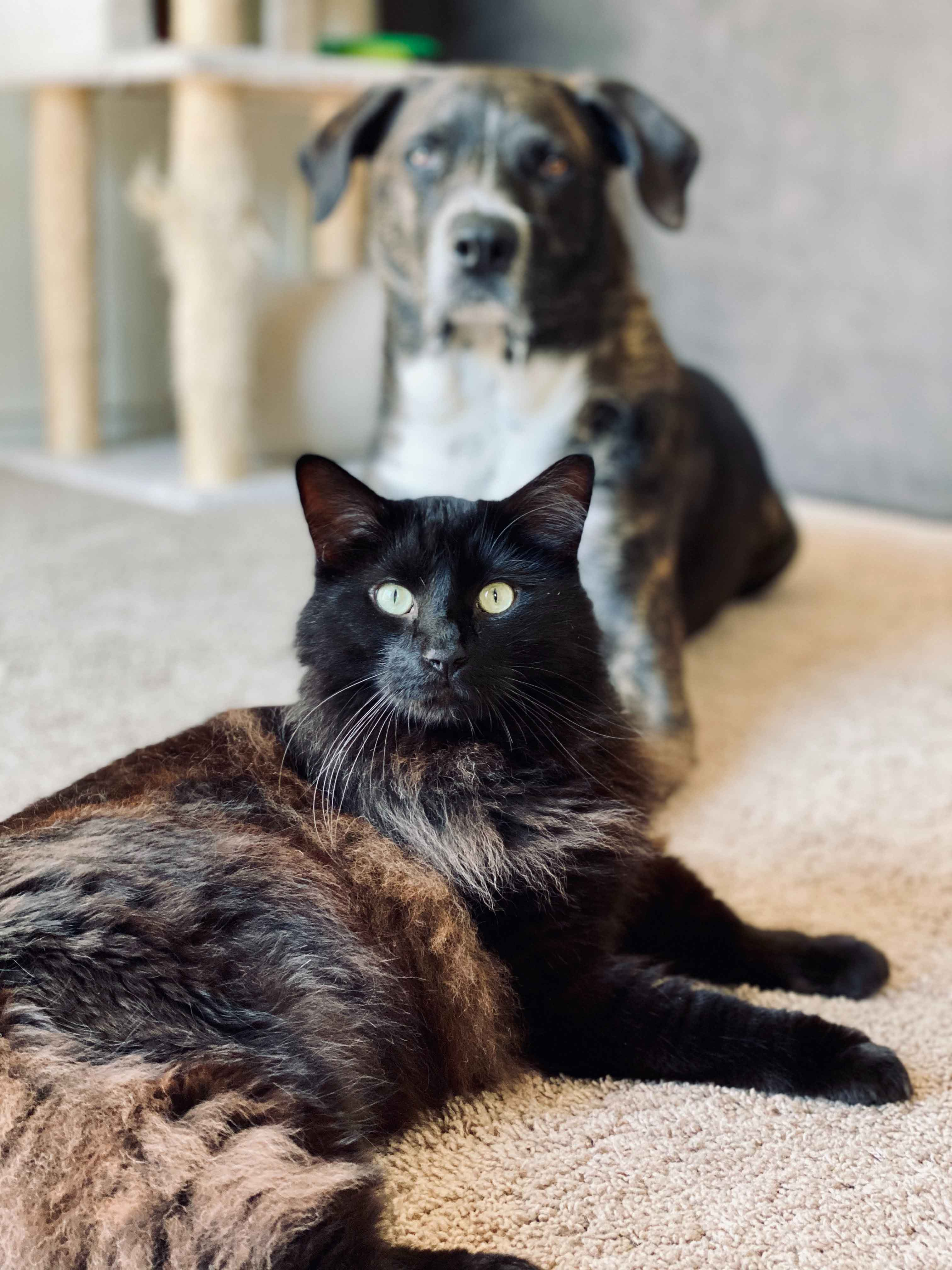 Primeira vacina para gatos e cães coronavírus