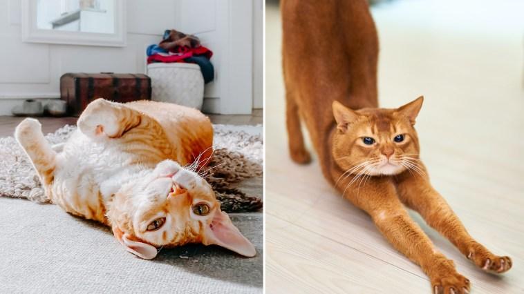 Teste com seu gato esse vídeo desenvolvido para tirar o estresse dele