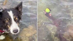 Um polvo roubou a bolinha desse cachorro e ele não pôde fazer nada