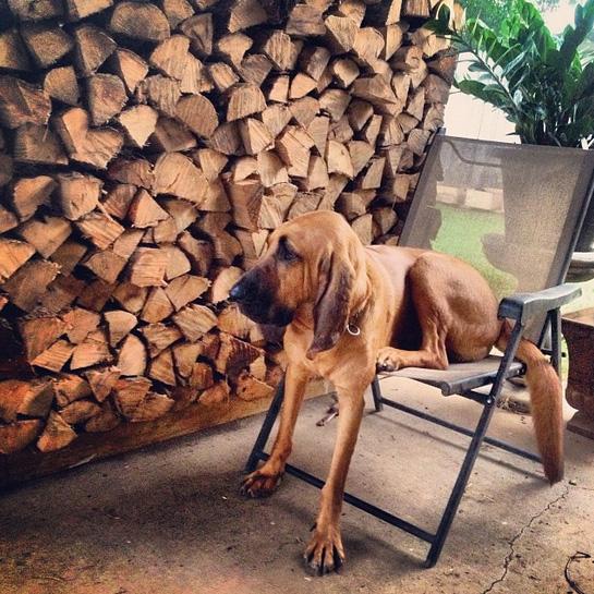 cães grandes