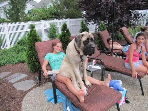 maiores raças de cachorro