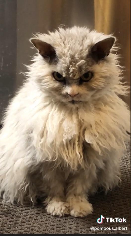 gatinho com cara de bravo