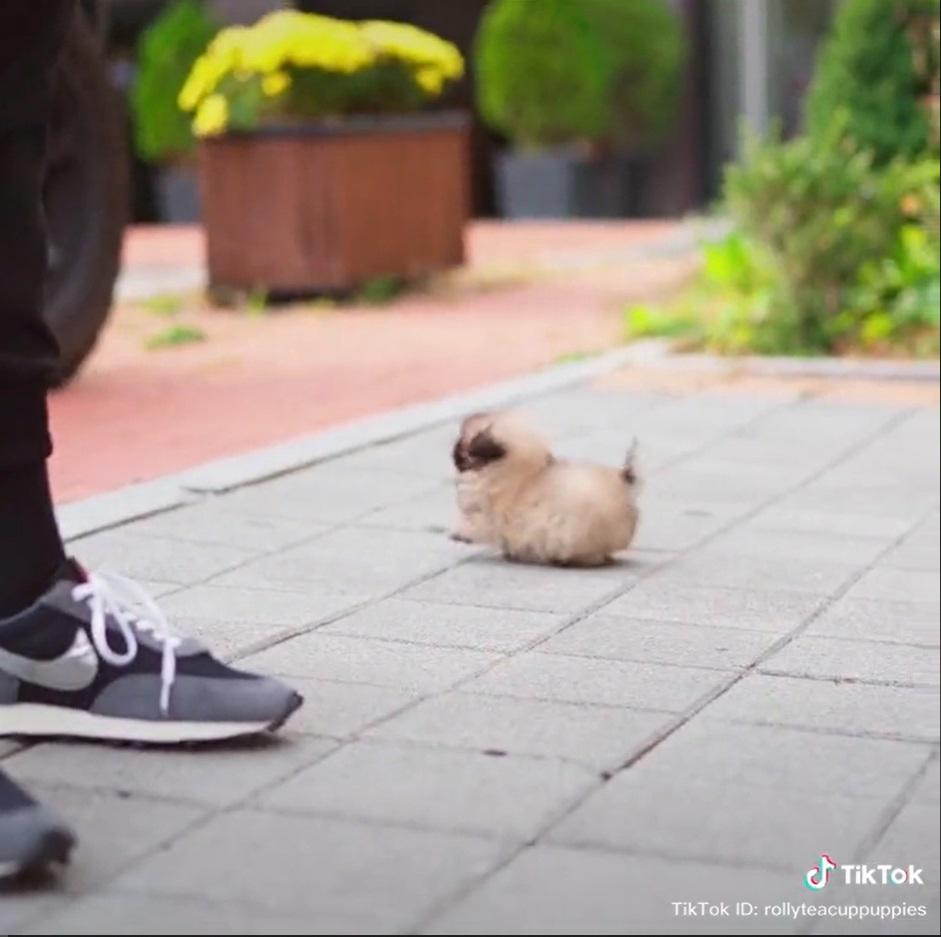 Cachorrinho minúsculo e redondinho dá show de fofura nas dedes sociais