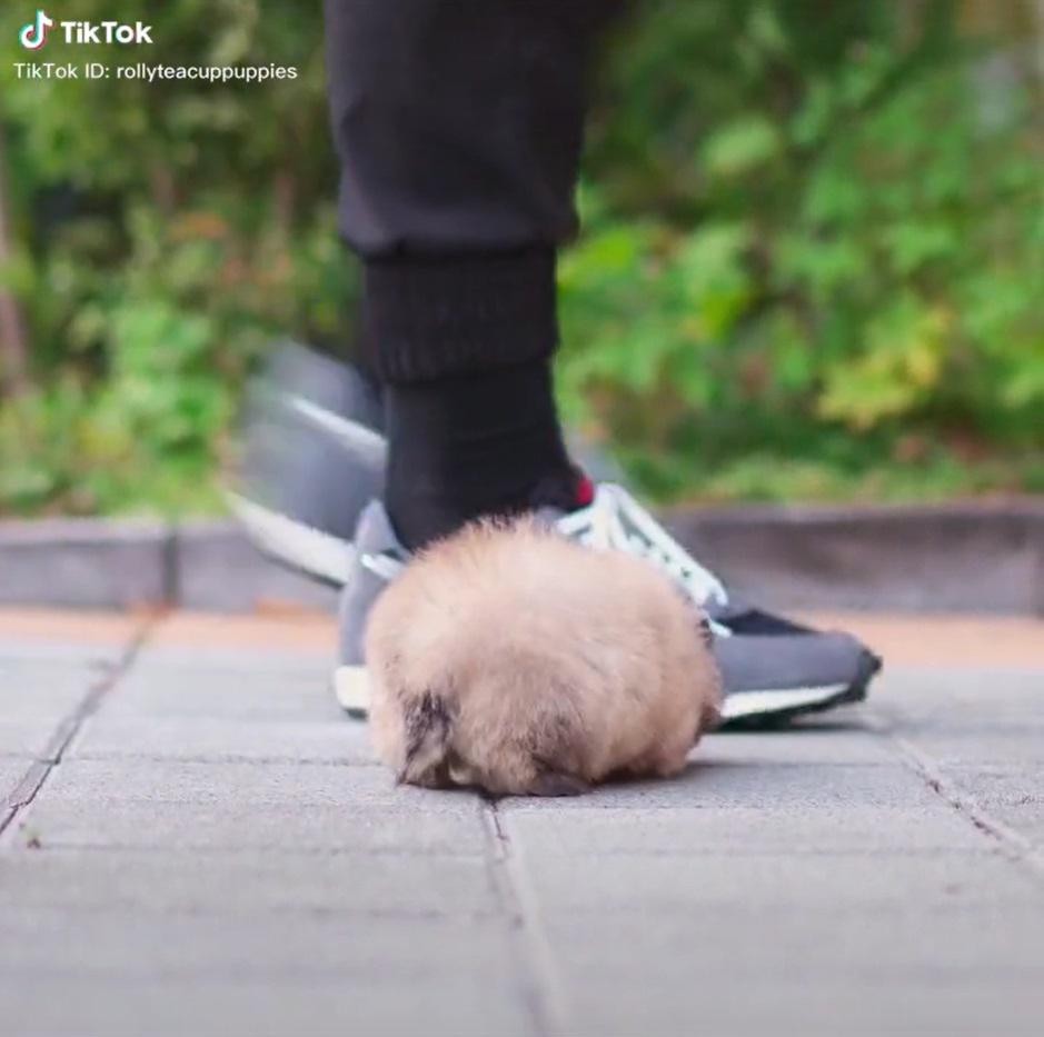 Cachorrinho minúsculo e redondinho fofo