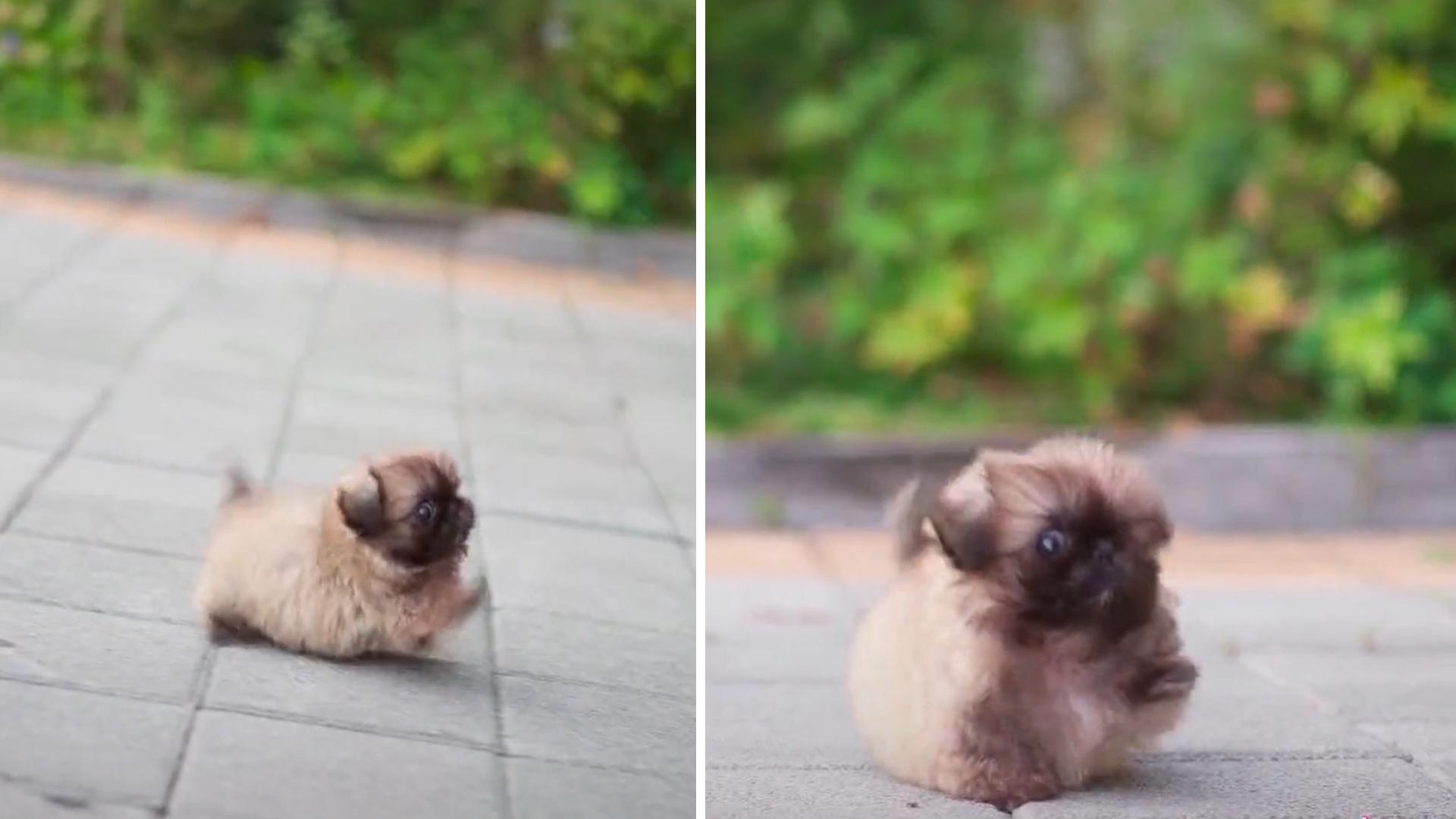 Cachorrinho minúsculo e redondinho