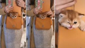 Gatinho lindo e fofo surge de dentro de bolsa e rouba o coração de todos