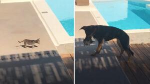 Gatinho perdido anda na direção da piscina e é salvo por cachorro