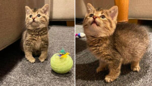 Gatinho saltitante cresce saudável após ser resgatado de um celeiro
