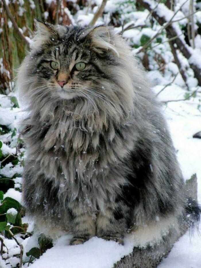 Gatos gigantes em fotos