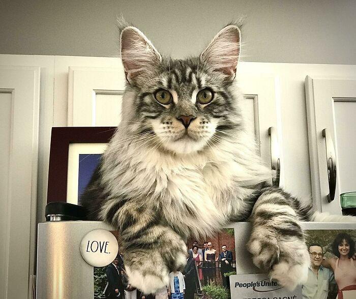 Gatos gigantes em incríveis fotos