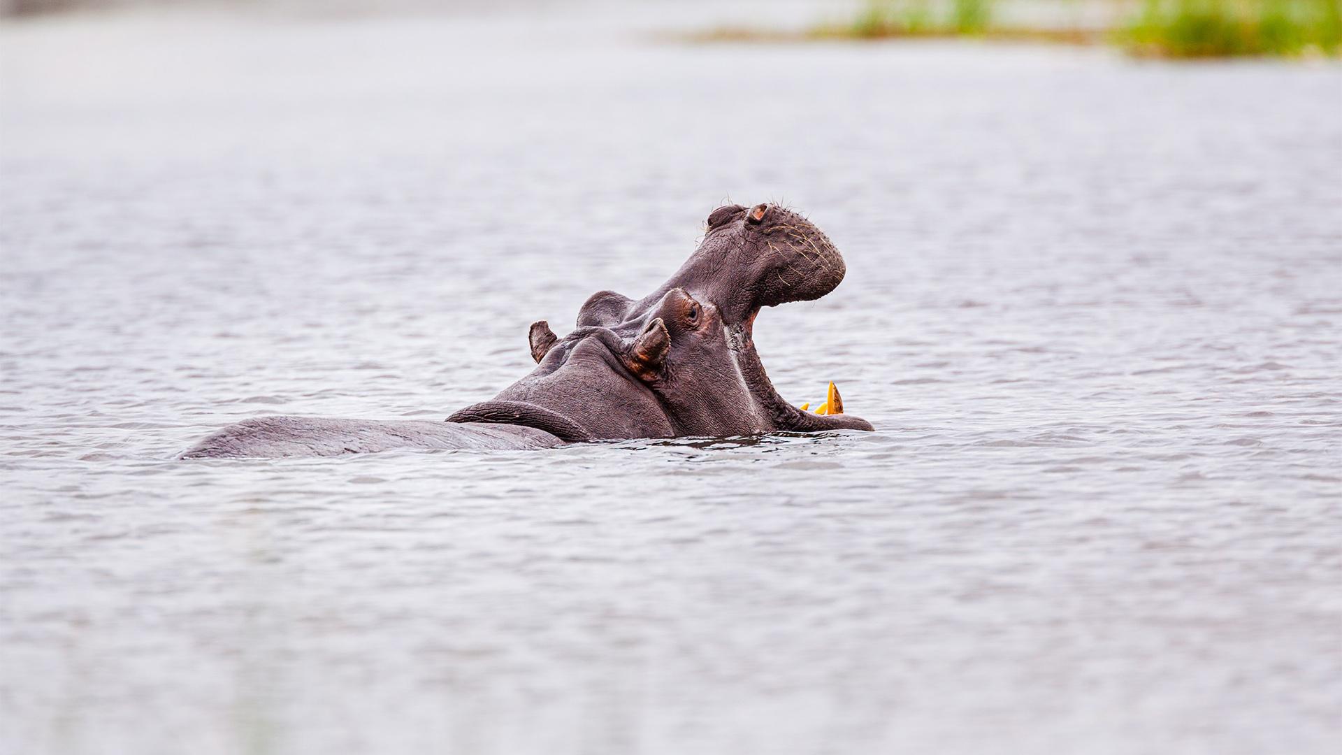 Vídeo: Hipopótamo persegue e tenta atacar barco de turistas