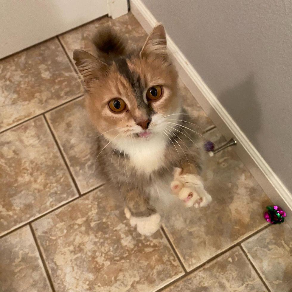 adoção de animais gatos