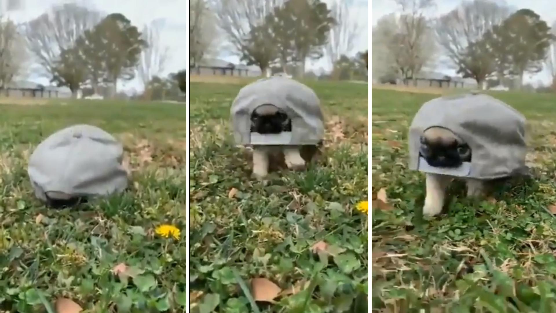 Cachorrinho no boné se torna a tartaruga mais fofa do planeta