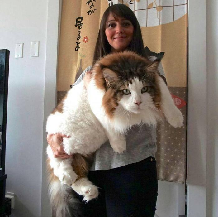 gatinhos gigantes raças