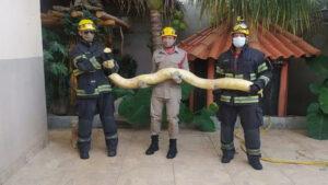Píton albina de 3 metros foi resgatada em uma casa de Aparecida de Goiânia