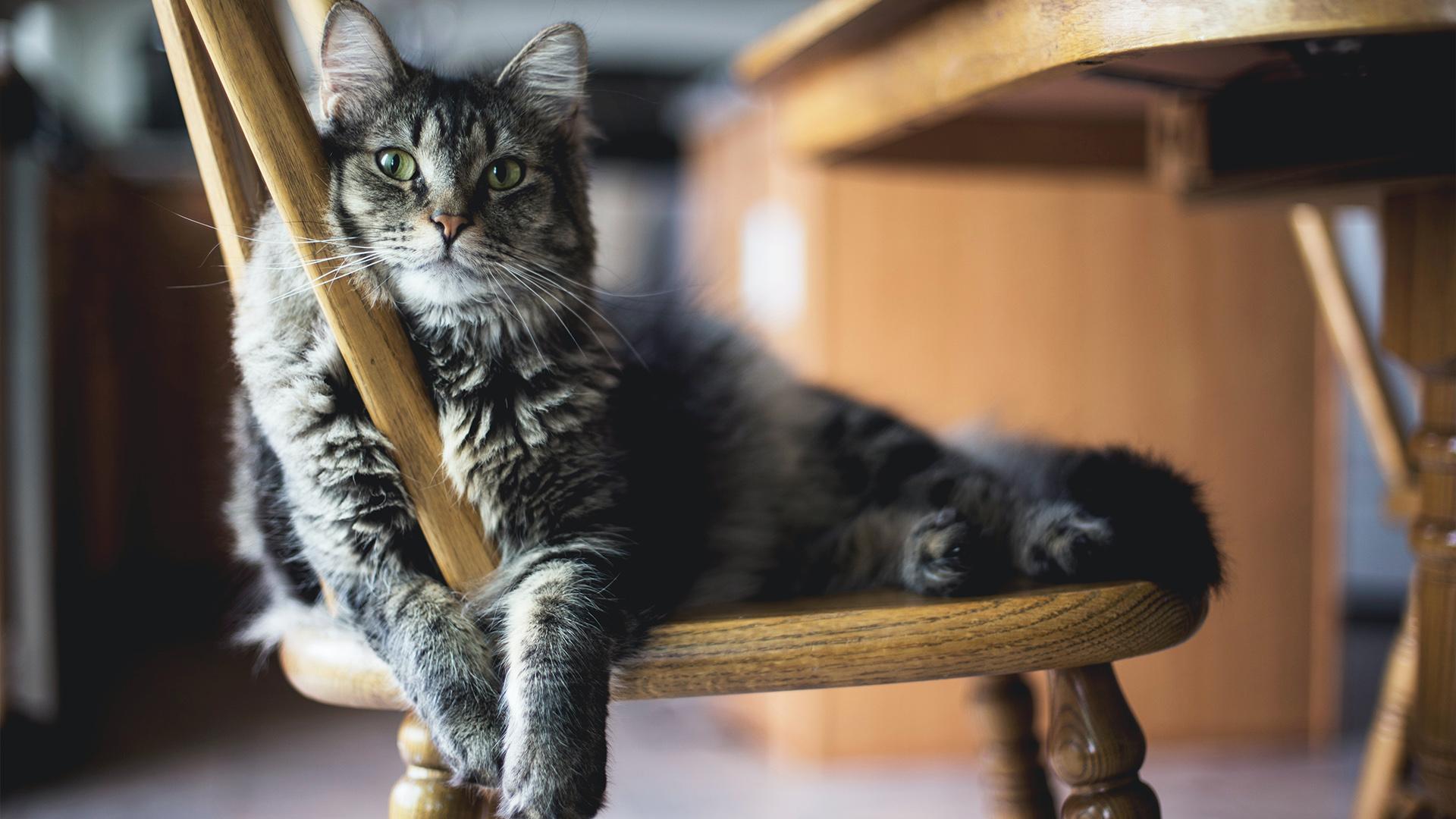 Proteína da saliva dos gatos