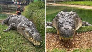 Conheça Elvis: O crocodilo gigante de meia tonelada que viralizou