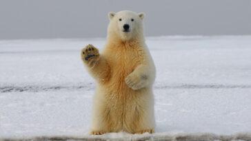fatos sobre ursos polares