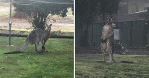 Cidade fica de luto após canguru 'gigante e gentil' morrer atropelado