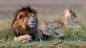 o leão mais famoso do mundo